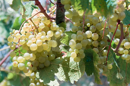 White grapes stock photo, Bunch of white grapes hanging  in a vineyard by ANTONIO SCARPI