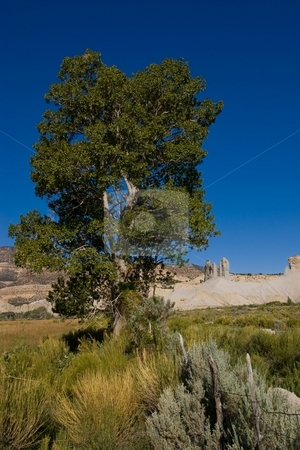 Utah Cottonwood stock photo, A cottonwood tree along a fence line in the desert. by Andrew Orlemann