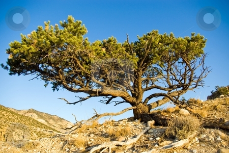 Utah Pinyon stock photo, Pinyon pine tree on the rim of a desert canyon. by Andrew Orlemann
