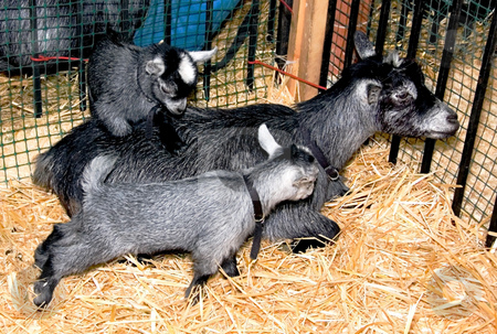 Two Baby Pygmy Goats With Mom stock photo, These 2 kid pygmy goats are adorable with their mother who is laying down on straw.  One baby is standing on mom's back. by Valerie Garner