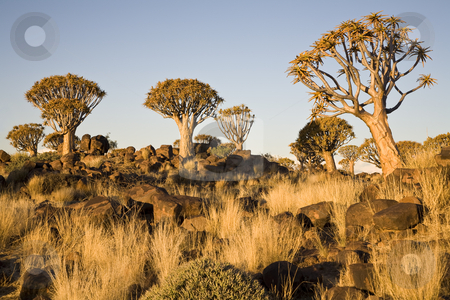 Quiver Trees stock photo, Quiver trees in warm evening light, Republic of Namibia, Southern Africa by mdphot