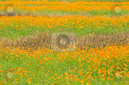 Orange daisy in field stock photo, Full of orange daisy in the field by Lawren