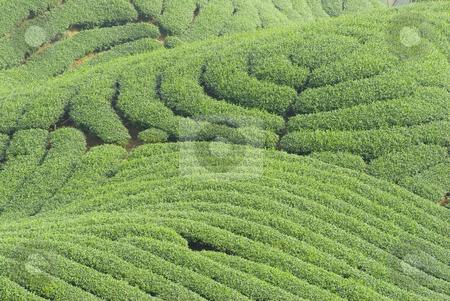 Complex landform and tea trees stock photo, Complex landform full of tea trees by Lawren