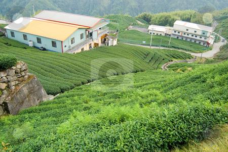 Tea trees on hill stock photo, Tea farm on the hill by Lawren