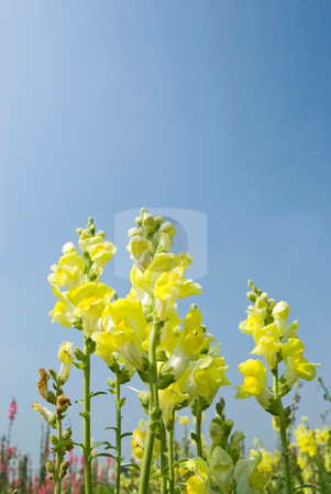 Yellow Snapdragon flowers under blue sky stock photo, Yellow flowers in the field under blue sky, sunny day, Snapdragon by Lawren