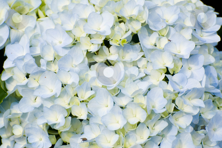 Colorful fresh flower background stock photo, Colorful fresh flower background, hydrangea flower. by Lawren