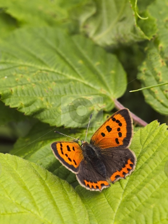 Small copper on leaf stock photo, A small copper butterfly lycaena phlaeas on a leaf in summer by Mike Smith