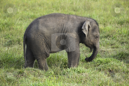 Baby elephant in sri lanka 2 stock photo, A baby elephant in wasgomuwa national park sri lanka by Mike Smith