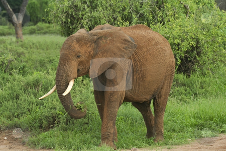 Elephant at samburu stock photo, A young elephant in samburu national park northern kenya by Mike Smith
