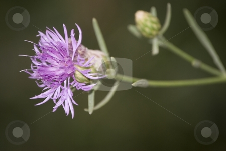 Thisle Flower stock photo, The image shows a small thiste flower by Antonino Sicali