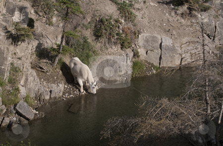 Billy Mountain Goat drinking stock photo, Billy Mountain Goat drinking from lake by Sharron Schiefelbein
