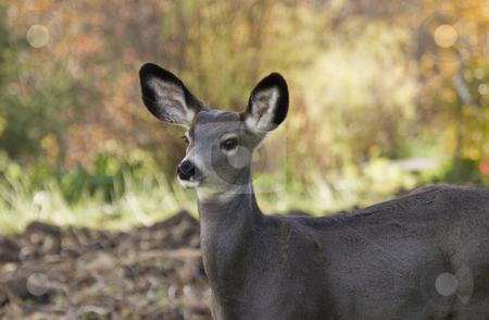 Close up doe stock photo, Close up doe by Sharron Schiefelbein