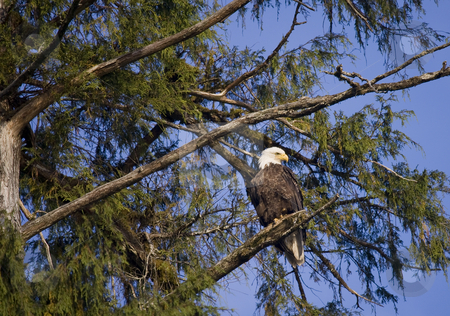 Eagle in tree stock photo, Eagle sitting in tree on shoreline of coast by Sharron Schiefelbein