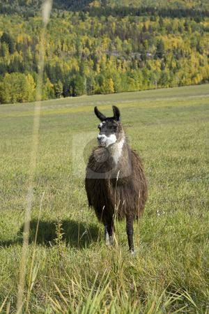 Llama have such interesting looks stock photo, Llama have such interesting looks by Sharron Schiefelbein