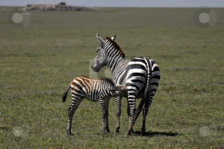 Zebra mom and baby stock photo, Zebra mom and baby by Sharron Schiefelbein