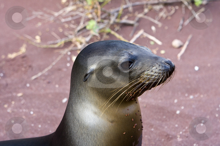 Sealion in the Galapagos Islands stock photo, A baby Sealion on the Galapagos Islands, Ecuador, South America by Sharron Schiefelbein