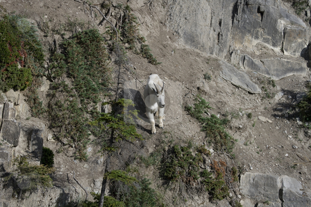 Billy Mountain Goat high on steep cliff stock photo, Billy Mountain Goat high on steep cliff by Sharron Schiefelbein