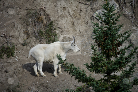 Billy Mountain Goat stock photo, Billy Mountain Goat on cliff in Jasper National Park by Sharron Schiefelbein