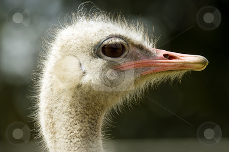 Ostrich stock photo, Close up of a Ostrich (Struthio camelus) by Stephen Meese