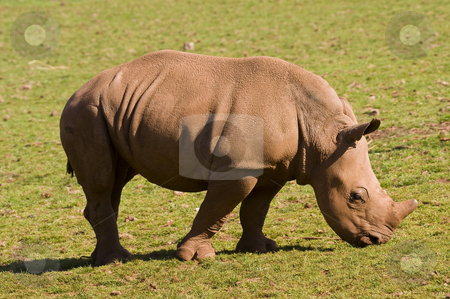 White Rhinoceros Baby stock photo, Closeup of baby White Rhinoceros (Ceratotherium simum simum) by Stephen Meese