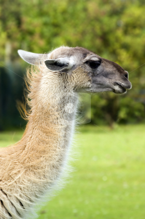 Llama stock photo, Close up of a Llama (Lama glama) by Stephen Meese