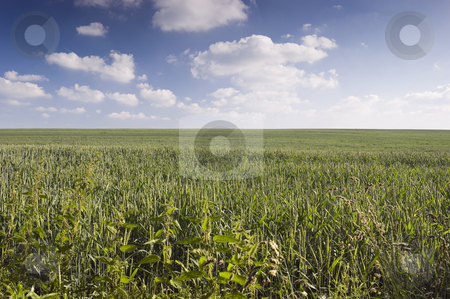 Wheat Field stock photo, Wheat field near Wentworth village South Yorkshire England by Stephen Meese