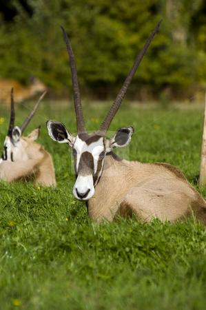 Gemsbok stock photo, Close up of a Gemsbok (Oryx gazella) by Stephen Meese