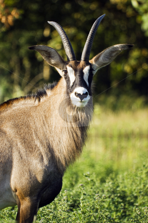 Roan Antelope stock photo, Close up of a Roan Antelope (Hippotragus equinus) by Stephen Meese