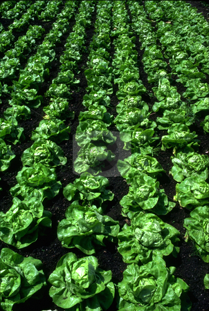 Rows of Lettuce stock photo, Rows of Lettuce near Amiens, France by David Ryan