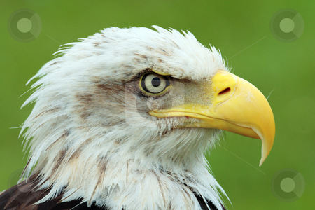 Bald eagle stock photo, American wild eagle looking for eat very quiet by Bernardo Varela