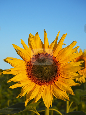 Sunflower field stock photo, A sunflower in afield under a summer sky by Mike Smith