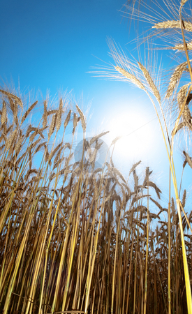 Golden wheat field  stock photo, Golden wheat field in summer  against the sun by Laurent Dambies