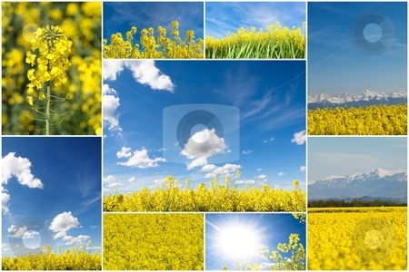 Colza collage stock photo, A collection of blooming rapeseed field pictures  in France by Laurent Dambies