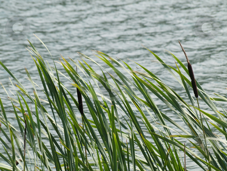 Stand of green cattails stock photo, Group of young green cattails on a border of a lake at summer by Laurent Dambies