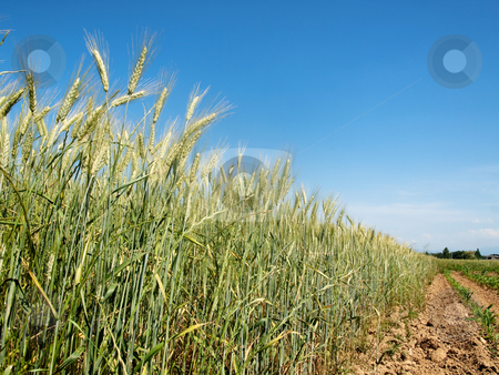 Green wheat field stock photo, Green wheat field in the contryside under blue sky by Laurent Dambies
