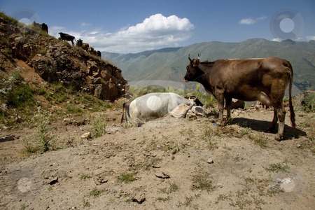 Cow in mountain stock photo, Brown cow in Armenia mountains, near Meghri passing by Tomasz Parys