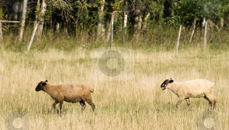 Domestic Sheep stock photo, Two domestic sheep are walking through a small field during the day by Richard Nelson