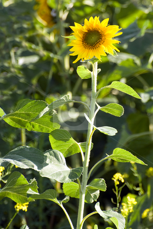 Small Sunflower stock photo, A small sunflower growing tall in the wild by Richard Nelson