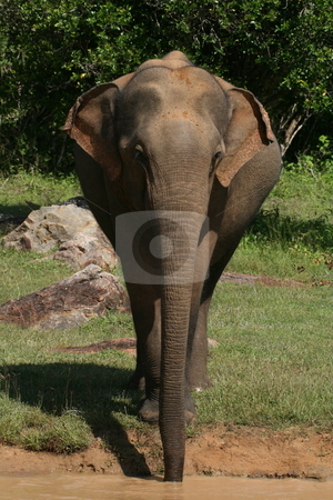 Yala elephant stock photo, An elephant in yala national park sri lanka drinking from a water hole by Mike Smith