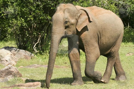 Yala elephant stock photo, An elephant walking in yala national park sri lanka by Mike Smith