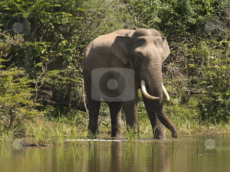 An indian elephant in sri lanka stock photo, An indian elephant in yala national park sri lanka by Mike Smith