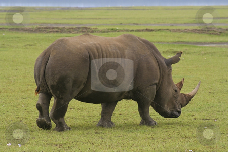 White rhino in kenya stock photo, A white rhino in nakuru national park kenya by Mike Smith