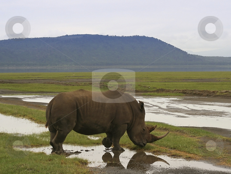White rhino in the rains stock photo, A white rhino in nakuru national park kenya in the rains by Mike Smith