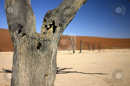 Dead Vlei Close up stock photo, Close up of a dead tree with other dead trees in the background in Dead Vlei, Namibia by Darren Pattterson