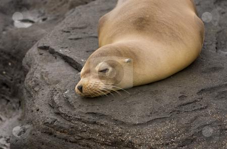 Sea lion on Galapagos Islands stock photo, Sea lion on Galapagos Islands by Sharron Schiefelbein