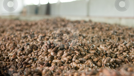 Cocoa beans in Ecuador stock photo, Cocoa beans in Ecuador by Sharron Schiefelbein
