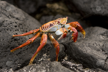 Sally Lightfoot crab Galapagos Islands stock photo, Sally Lightfoot crab Galapagos Islands by Sharron Schiefelbein