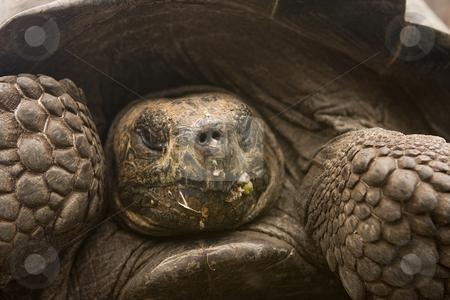 Giant Galapagos Tortoise stock photo, Giant Galapagos Tortoise by Sharron Schiefelbein