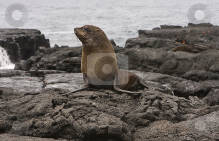Fur Sea lion on the Galapagos Islands stock photo, Fur Sea lion on the Galapagos Islands by Sharron Schiefelbein