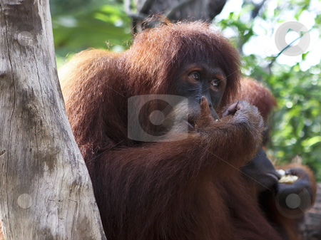 A close up portrait of the king of the primates, the Orangutan stock photo, A close up portrait of the king of the primates, the Orangutan by Sharron Schiefelbein